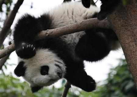A panda cub plays at the Chengdu Research Base of Giant Panda Breeding in Chengdu, southwest China's Sichuan province, May 24, 2007. A panda at a zoo in northwestern China, unimpressed with the food offered at his new lodgings, erupted with rage and sunk his teeth into a staff member's flesh instead, local media reported on Monday. REUTERS/Reinhard Krause