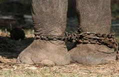 <p>Цепи на ногах слона, участвующего в одном из фестивалей в Таиланде 17 ноября 2007 года. Цирковой слон вывалился из перевозившего его грузовика и насмерть задавил свою смотрительницу в австралийском городе Ямба в четверг, сообщила полиция. (REUTERS/Gillian Murdoch)</p>