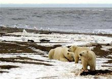 <p>A polar bear sow and two cubs are seen on the Beaufort Sea coast within the 1002 Area of the Arctic National Wildlife Refuge in this undated handout photograph provided by the U.S. Fish and Wildlife Service. The western Canadian province of Manitoba named the polar bear a threatened species on Thursday, enabling it to restrict new development on its Arctic shoreline, where hundreds of the big white bears spend several weeks each year. REUTERS/U.S. Fish and Wildlife Service/Handout EDITORIAL USE ONLY. NOT FOR SALE FOR MARKETING OR ADVERTISING CAMPAIGNS.</p>