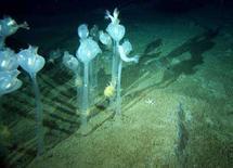 <p>Alcuni tunicati sul fondo dell'oceano sotto l'Antartico. REUTERS/Australian Antarctic Division/Handout (ANTARCTICA)</p>