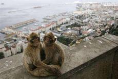 <p>Scimmie di Gibilterra in cima alla Rock of Gibraltar. REUTERS/Anton Meres (Gran Bretagna)</p>