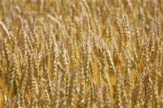 <p>Canadian wheat grows in a field near Teulon, Manitoba, July 26, 2006. REUTERS/Shaun Best</p>