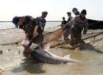 <p>Рыбаки достают из сетей осетров, пойманных в реке Урал, недалеко от казахстанского города Атырау, 16 апреля 2001 года. Казахстан готовится ввести государственную монополию фактически на все операции с осетровыми и черной икрой, и хочет вернуть в госсобственность крупнейший рыбзавод. (REUTERS/Shamil Zhumatov)</p>