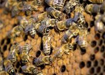 <p>Honeybees are seen in one of Trevor Rehaluk's colonies near Nipiwan, Saskatchewan, May 26, 2007. REUTERS/Dave Stobbe</p>