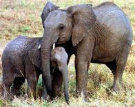 <p>Immagine d'archivio di un elefante femmina e del suo piccolo in una riserva in Kenya. AN/FMS</p>