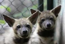 <p>Dos cachorros de hienas en su recinto al interior del Parque Zoológico Nacional de Cuba, en las afueras de La Habana, 7 de agosto del 2008. 'Evo' se mudará a Venezuela. La jirafa cubana de apenas seis meses bautizada en honor al presidente boliviano, Evo Morales, es uno de los 10 animales que Cuba enviaría en septiembre a Caracas para repoblar el deprimido zoo de Caricuao. Photo by Claudia Daut/Reuters</p>