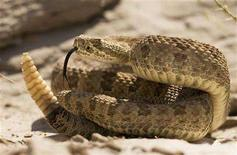 <p>A prairie rattlesnake warns approaching hikers with a rattle of his tail in Dinosaur Provincial Park, Alberta in this picture taken August 7, 2008. REUTERS/Todd Korol</p>