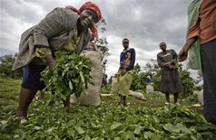 <p>Women who farm on disputed land at the Mau forest gather wild vegetables to transport to local markets August 26, 2008. REUTERS/Finbarr O'Reilly</p>