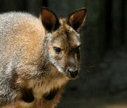 <p>Les policiers de la ville de Bredstedt, dans le nord de l'Allemagne, sont engagés depuis samedi dans une chasse au kangourou. Le mammifère, qui mesure environ 50 cm de haut, s'est échappé du zoo et a été aperçu sautillant dans les rues de la ville. /Photo d'archives/REUTERS</p>