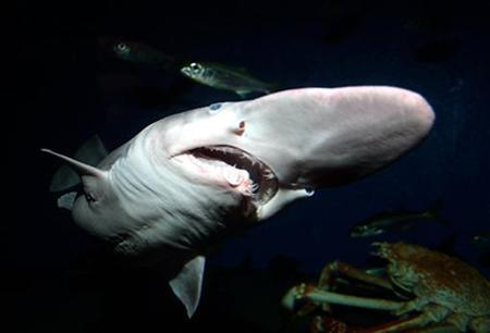 A 130-centimetre long goblin shark swims in a tank at the Tokyo Sea Life Park's aquarium in this handout photo taken on January 25, 2007 by the park in Tokyo. REUTERS/Tokyo Sea Life Park/Handout