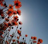 <p>Des chercheurs israéliens ont réussi à multiplier par dix les parfums dégagés par des fleurs grâce à des manipulations génétiques - une découverte susceptible d'intéresser la parfumerie et l'agriculture. /Photo d'archives/REUTERS/Mike Hutchings</p>