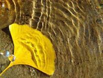 <p>Foto de archivo de una hoja de un árbol ginkgo sobre agua, en Pekín, 11 nov 2006. Un grupo de científicos informó que el extracto de las hojas del árbol de ginkgo podría minimizar el daño cerebral causado por el accidente cerebrovascular (ACV). REUTERS/Jason Lee (CHINA)</p>