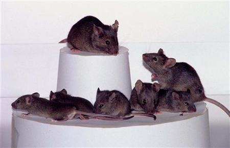 Three generations of cloned mice are shown here. The second level combines both the second and third generations, demonstrating the magnitude of the process. REUTERS/Handout