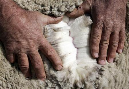 Australian wool grower Alix Turner opens up the fleece of one of his Merino sheep on his property near Goulburn, 150 kilometres (93 miles) southwest of Sydney May 12, 2006. REUTERS/Will Burgess