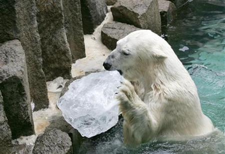 A polar bear licks a block of ice at Ueno Zoo in Tokyo August 11, 2004. REUTERS/Yuriko Nakao