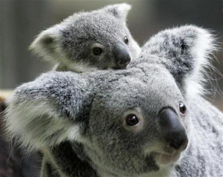 A baby koala is seen atop its mother at the Tama Zoo Park in suburban Tokyo January 28, 2007. REUTERS/Yuriko Nakao