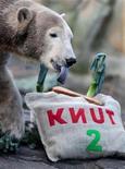 <p>Foto de archivo de Knut, oso polar del zoológico de Berlín, durante la celebración de su segundo cumpleaños, 5 dic 2008. Un hombre de 37 años se trepó el lunes a una cerca para entrar en el recinto del famoso oso polar de Berlín, pero logró escapar ileso gracias a que los guardias distrajeron al animal con un pedazo de carne, informó la policía REUTERS/Johannes Eisele</p>