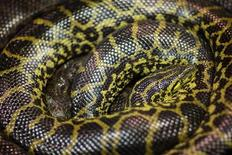 <p>Immagine d'archivio di due serpenti anaconda in uno zoo. REUTERS/Hannibal Hanschke (GERMANY)</p>