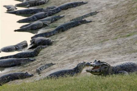 Caimans rest on bank in Brazil's Pantanal wetland near the city of Corumba, January 14, 2009. REUTERS/Jamil Bittar