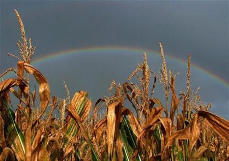 A rainbow is seen behind crops near Helford, on the coast of Cornwall in south west England on August 29, 2008. REUTERS/Toby Melville