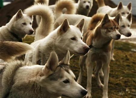 Siberian Huskies sit tethered during a day of preparation for the Arden Grange Aviemore 2009 Sled Dog Rally, which will take place on Saturday and Sunday, near Loch Morlich in Scotland January 22, 2009. REUTERS/David Moir