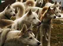 <p>Siberian Huskies sit tethered during a day of preparation for the Arden Grange Aviemore 2009 Sled Dog Rally, which will take place on Saturday and Sunday, near Loch Morlich in Scotland January 22, 2009. REUTERS/David Moir</p>