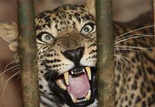 <p>Une femelle léopard a partagé pendant 18 mois la vie d'une famille allemande, jusqu'à ce que les autorités ne la lui retirent faute du permis adéquat. Le félin jouissait d'un parc de 1.400 m2 construit sans autorisation, à Weyhe, dans le nord de l'Allemagne. /Photo d'archives/REUTERS/Ali Jarekji</p>