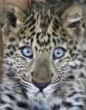 <p>foto de archivo de un leopardo del zoológico Ghamadan en Jordania, 18 nov 2008. Un leopardo hembra adulto que vivió con una familia alemana durante 18 meses será trasladado a un nuevo recinto, luego de que las autoridades dijeran que los propietarios no tenían licencia para mantener al animal en un barrio residencial. REUTERS/Ali Jarekji</p>