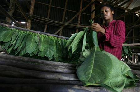 A woman separates tobacco leaves in a curing barn at a farm in Cuba's western province of Pinar del Rio February 24, 2009. REUTERS/Enrique De La Osa