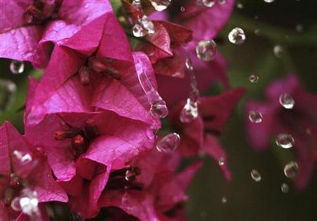 Water droplets drip down the flowers of a bougainvillea plant in Amman December 25, 2008. REUTERS/Ali Jarekji