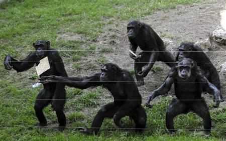 Chimpanzees try to catch a matza thrown towards them at the Ramat Gan Safari, near Tel Aviv April 7, 2009. REUTERS/Amir Cohen