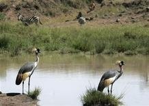 <p>Two grey-crowned cranes stand in a pond in the Masai Mara game reserve, 340km from the capital Nairobi, March 4, 2009. REUTERS/Antony Njuguna</p>