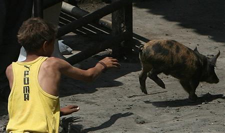 An Egyptian boy, whose family own pigs, help workers to collect pigs at the main slaughterhouse in Cairo April 30, 2009. REUTERS/Asmaa Waguih