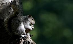 <p>A squirrel is seen in St. James Park in central London May 2, 2007. REUTERS/Alessia Pierdomenico</p>