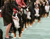 <p>Foto de archivo de perros de la raza raza Boyero de Berna durante el show canino Westminster en Nueva York, 14 feb 2005. Un perro alemán que recibió un disparo a manos de un borracho armado se vengó al arrancarle la punta de la nariz de un mordisco, informaron el lunes autoridades. REUTERS/Seth Wenig SW</p>
