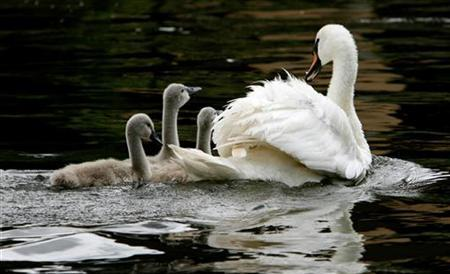 A swan and its cygnets are seen during the annual Swan Upping ceremony, during which young cygnets are counted and assessed for signs of injury or disease, on the River Thames near Shepperton in Surrey July 16, 2007. REUTERS/Alessia Pierdomenico