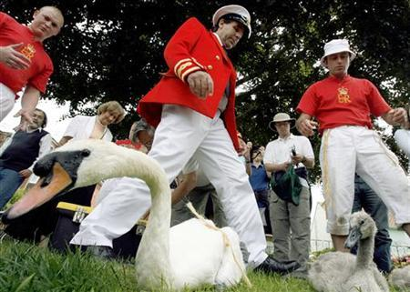 A swan and a cygnet wait to be measured by The Queen's Swan Uppers during the annual Swan Upping ceremony, during which young cygnets are counted and assessed for signs of injury or disease, on the River Thames near Shepperton in Surrey, southern England, July 16, 2007. REUTERS/Alessia Pierdomenico