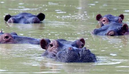 A herd of hippopotami swim in a muddy lake at the abandoned country home of former drug kingpin Pablo Escobar in central Colombia in Puerto Triunfo, December 10, 2002. REUTERSS/Albeiro Lopera
