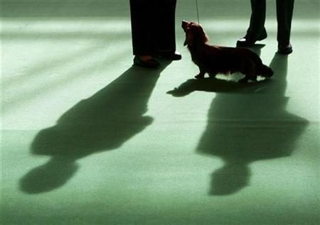 A Dachshund is judged in the parade ring during the Crufts dog show in Birmingham, central England, March 5, 2009. REUTERS/Darren Staples