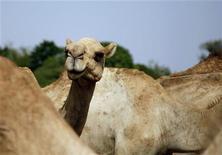 <p>Alcuni cammelli a al-Houta, in Yemen. REUTERS/Khaled Abdullah (YEMEN ANIMALS)</p>