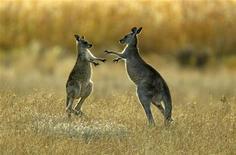 <p>Двое молодых кенгуру дерутся в национальном парке Namagi недалеко от Канберры 15 апреля 2004 года. Россельхознадзор с понедельника запретил ввоз в Россию мяса австралийских кенгуру из-за загрязнений, сообщил Рейтер представитель ведомства Алексей Алексеенко. REUTERS/Tim Wimborne/Files</p>