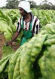 <p>A farm worker reaps tobacco leaves on a farm on the outskirts of the capital Harare in Zimbabwe, February 21, 2006. REUTERS/Howard Burditt</p>