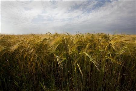A wheat field near the town of Cavendish in Suffolk, June 27, 2009. REUTERS/Kevin Coombs