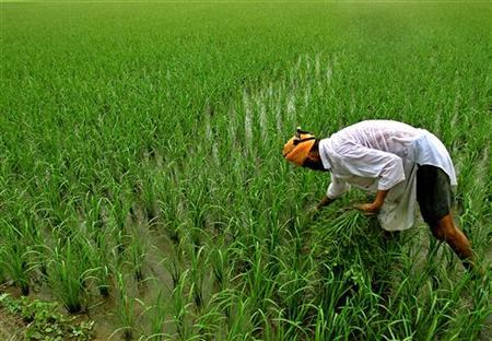 An Indian farmer inspects his paddy field in Taragarh village, 25 km (16 miles) from the northern Indian city of Amritsar, July 1, 2005. REUTERS/Munish Sharma