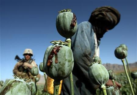 Afghan men harvest opium in a poppy field in a village in the Golestan district of Farah province, May 5, 2009. REUTERS/Goran Tomasevic