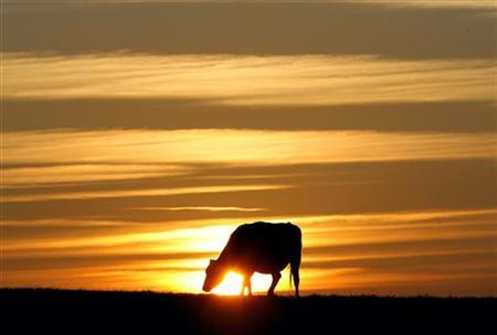 A cow grazes at sunset in Leicestershire, central England October 23, 2007. REUTERS/Darren Staples