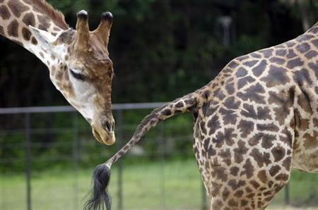 Giraffes Zagallo (L) and Beija Ceu or ''Sky Kisser'' stand together during a ''wedding ceremony'' at the zoo of Rio de Janeiro April 16, 2008. REUTERS/Sergio Moraes