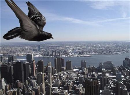 A pigeon flies over New York, March 3, 2009. REUTERS/Gleb Garanich