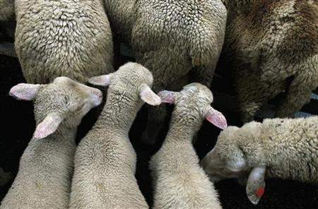 Sheep take part in the annual sheep parade through the heart of Madrid November 12, 2006. REUTERS/Susana Vera