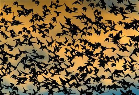 Hundreds of sparrows fill the sky above the city of Pontevedra, northwestern Spain, at sunset November 9, 2004. REUTERS/Miguel Vidal